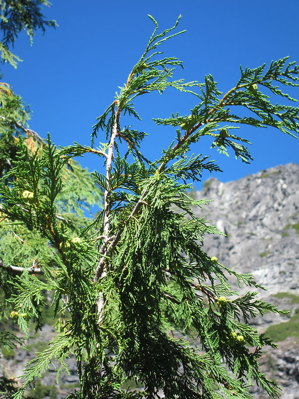 Beautiful flat, weeping sprays of Alaska cedar foliage in