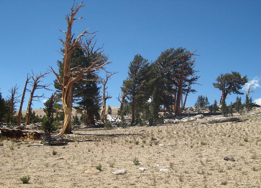 foxtail pines, Bighorn Plateau, Sequoia national Park