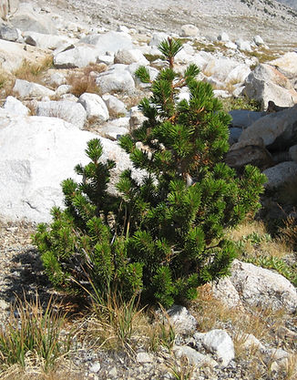 Lodgepole pine growing above Lake Wanda, 11,426' in Kings Canyon National Park