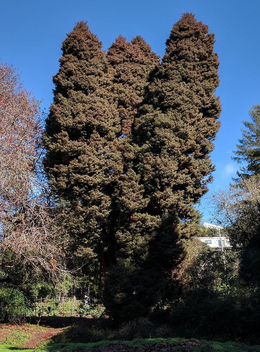 Japanese cedar (sugi), Cryptomeria japonica, at Blake Gardens in Kensington, California