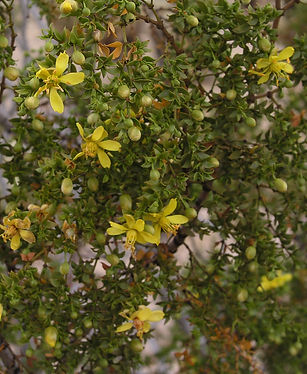 flowers of creosote bush (Larrea tridentata)