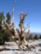 BRISTLECONE PINE SNAG