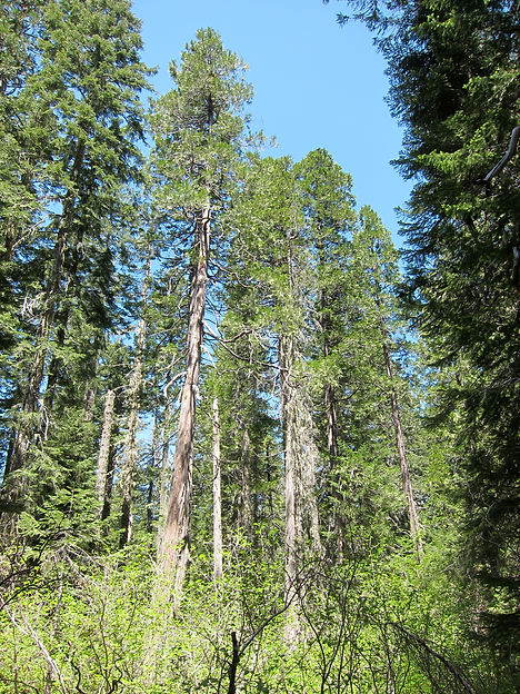 Alaska cedar, yellow cypress, Callitropsis nootkatensis, at Buck Lake in the Siskiyou Mountains