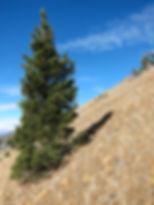 Foxtail pine, Mt. Eddy