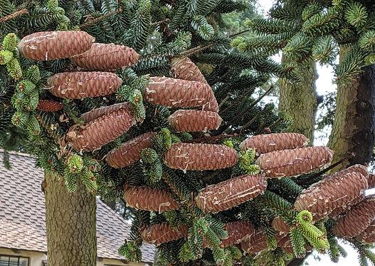 A PINSAPO, big cones.jpg