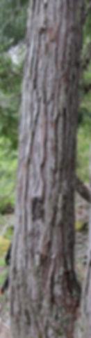 Alaska cedar, yellow cedar, bark