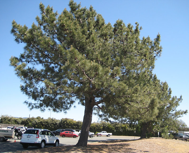 Torrey pine (Pinus torreyana) at Encinal Boat Ramp in Alameda California