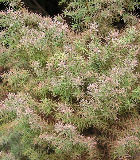 close-up of foliage of Japanese cedar (Cryptomeria japonica)