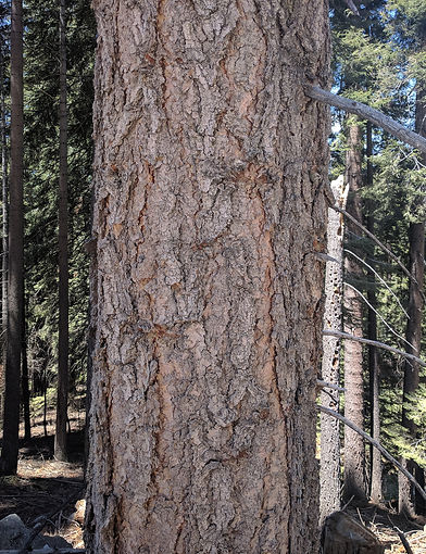 WHITE FIR BARK.jpg