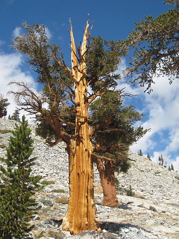 Foxtail pines, Kings Canyon National Park