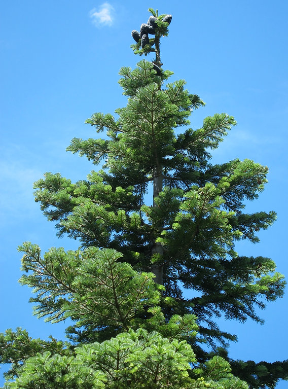 Pacific silver fir, Abies amabilis, in the Salmon Mountains, Marble Mountain Wilderness, Klamath National Forest