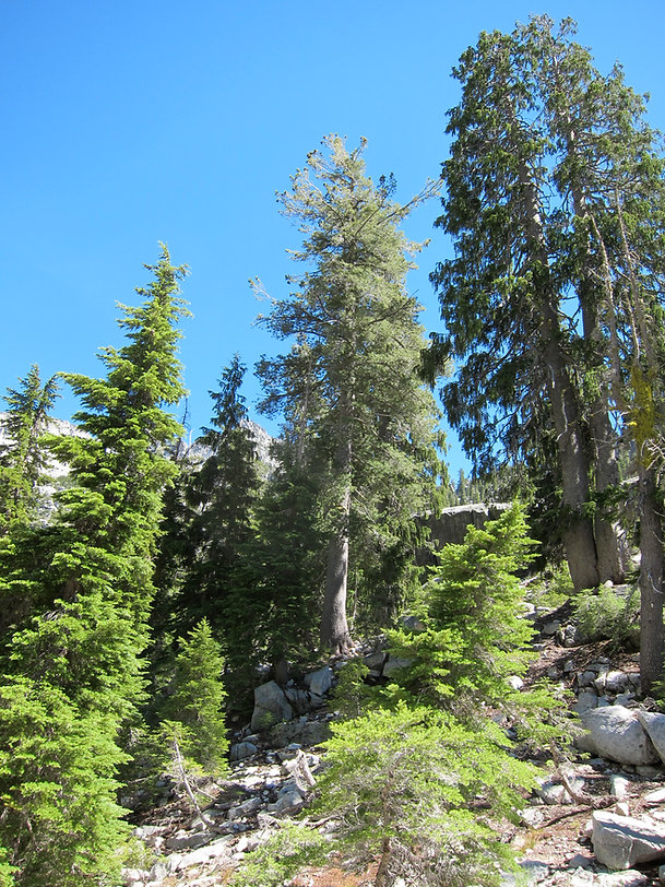 Mountain hemlock, western white pine, and Brewer spruce together in Trinity Alps Wilderness