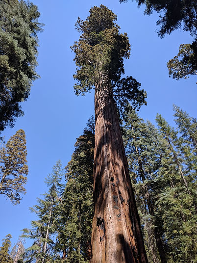 SEQUOIA & WHITE FIR.jpg