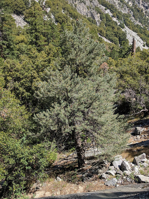 Singleleaf pinyon growing above the South Fork Kings River on the west slope of the Sierra