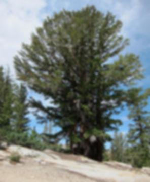 Mountain hemlock, Tsuga mertensiana, Yosemite National Park
