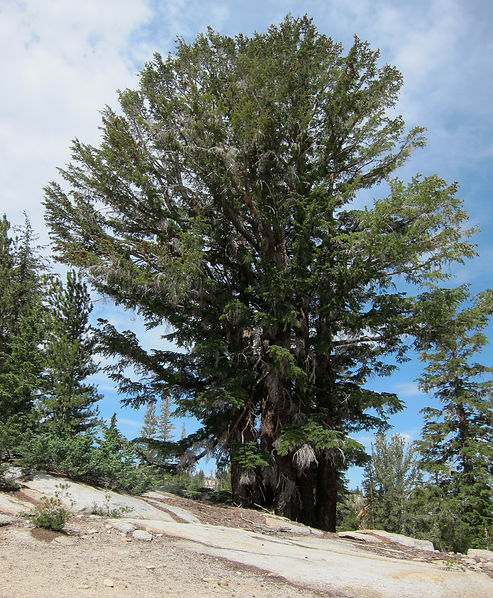 Mountain hemlock, Tsuga mertensiana, Yosemite National Park