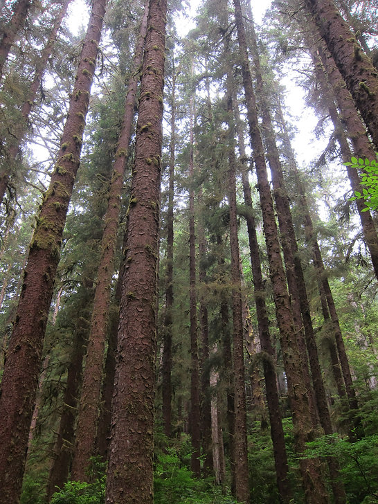 Sitka spruce, Picea sitchensis, in Prairie Creek Redwoods State Park, California