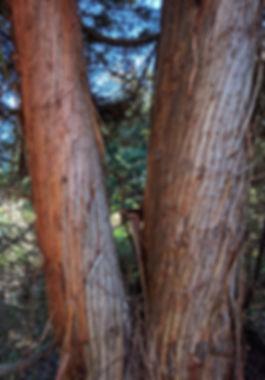 fibrous bark on Japanese cedar, Cryptomeria japonica