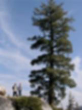 western white pine, Pinus monticola, near Ebbett's Pass in California