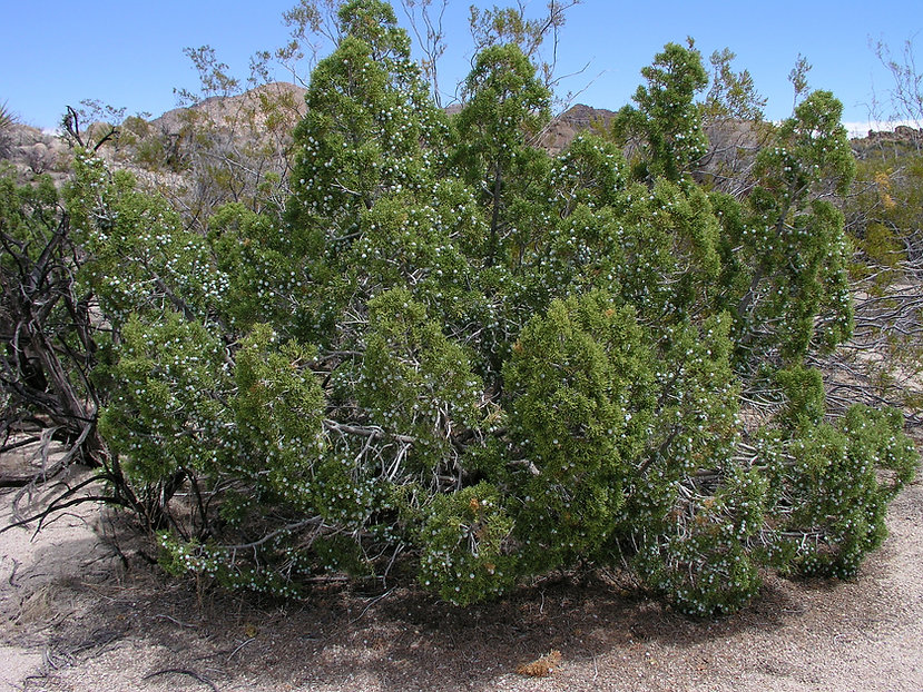 California juniper, Juniperus californica, at Joshua Tree National Park