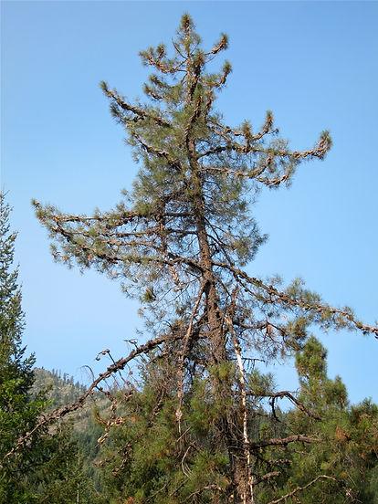 knobcone pine, Pinus attenuata, Shasta-Trinity National Forest