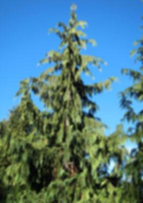 Alaska cedar, Callitropsis nootkatensis, at Regional Parks Botanic Garden in Tilden Park above Berkeley, California