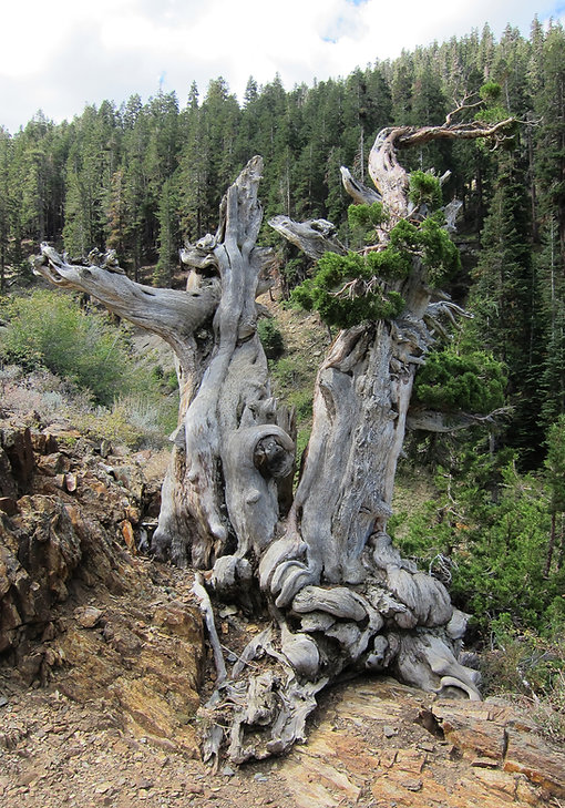 Sierra juniper snag south of Mineral King, Sequoia national Park