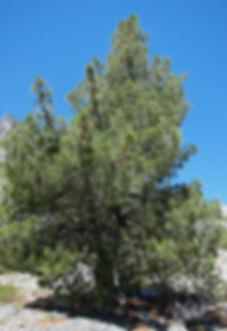 lone knobcone pine in Trinity Alps