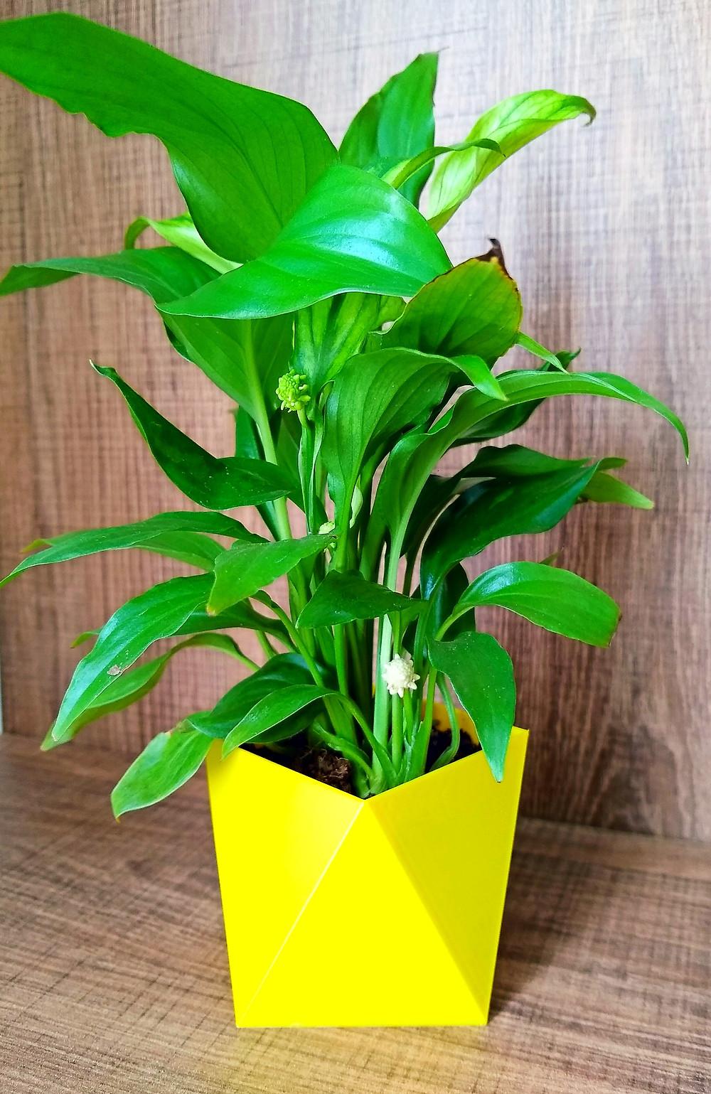 Planta para vaso sem furo.