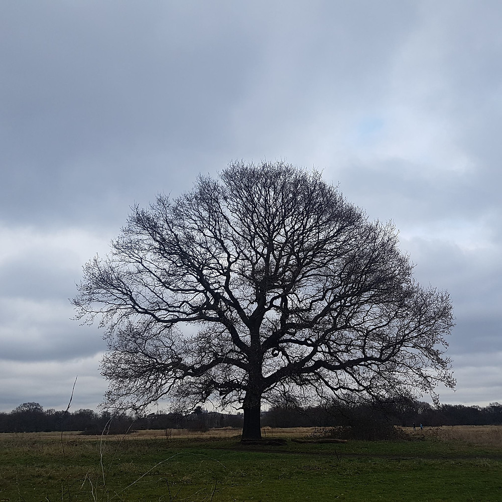 Majestic tree (Epping Forest)