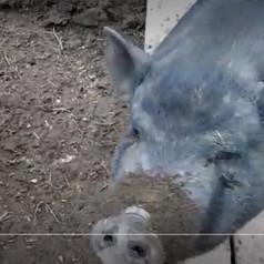 Свиньи сами вспахивают землю