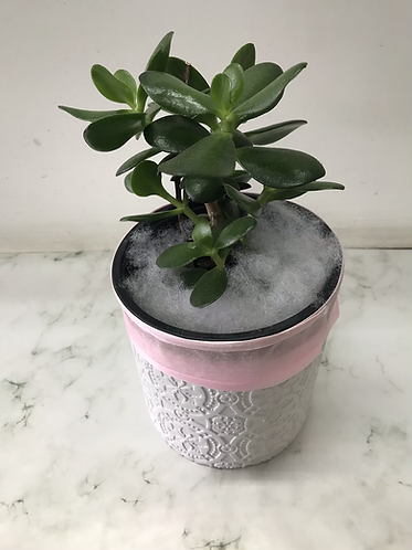 Jade plant(money tree)