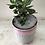 Thumbnail: Jade plant(money tree)