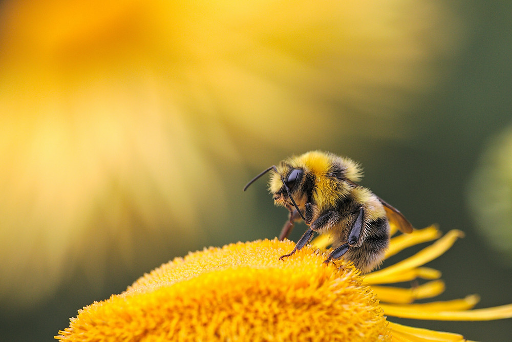 A bumblebee pollinates a yellow flower