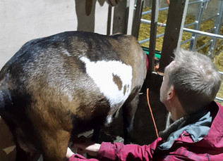 The art of milking a goat