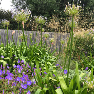 Agapanthus and Stipa