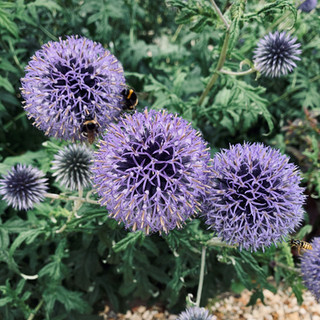 Echinops and Bees