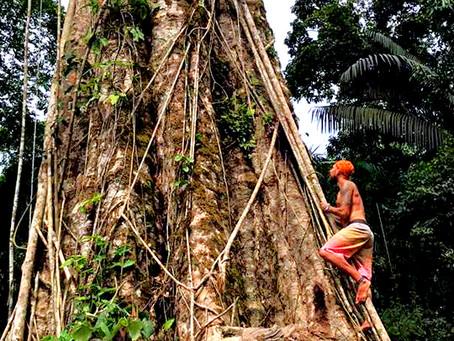 TREESPIRIT   On a sacred Cumaru in the Amazon