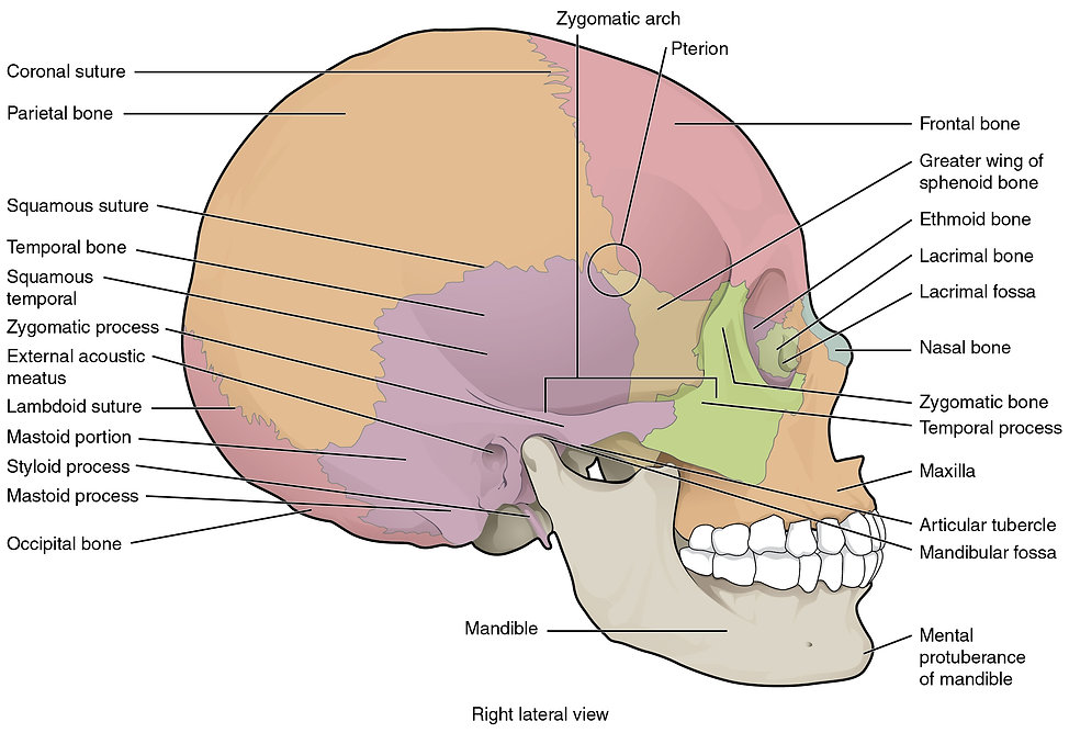 right lateral skull with labels.jpg