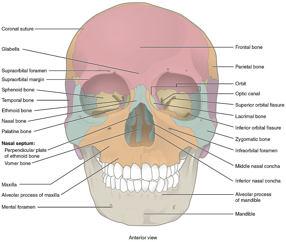 anterior skull with labels.jpg