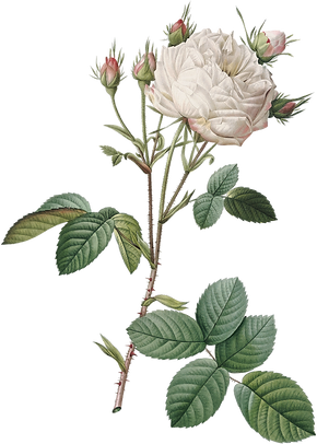 14_white_rose_graphicsfairy.png