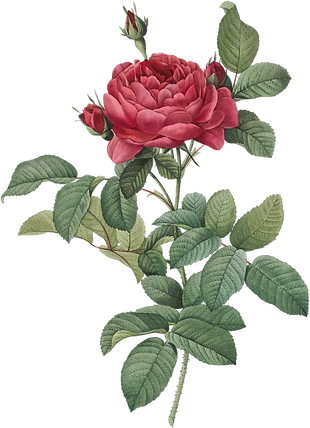 06_dark_pink_rose_graphicsfairy.png