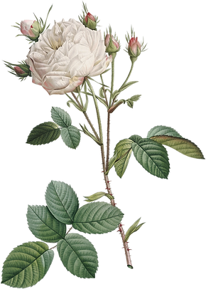 14_white_rose_graphicsfairy_edited.png