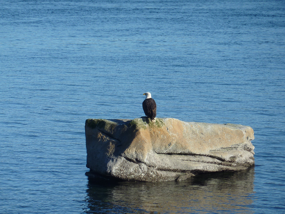 Eagle, along seaside in Campbell River