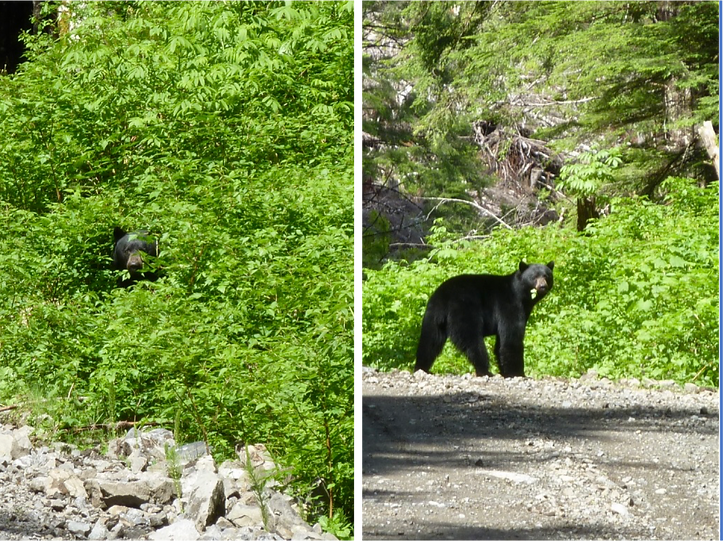 Bears along Coal Harbour Main | bikepacking NW Vancouver Island | cycle touring north Vancouver Island
