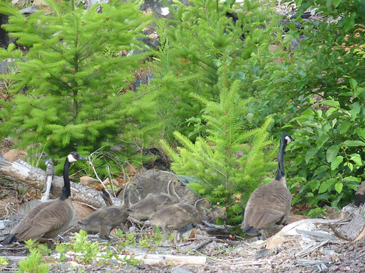 Gaggle of geese | cycle touring Vancouver Island | cycling links