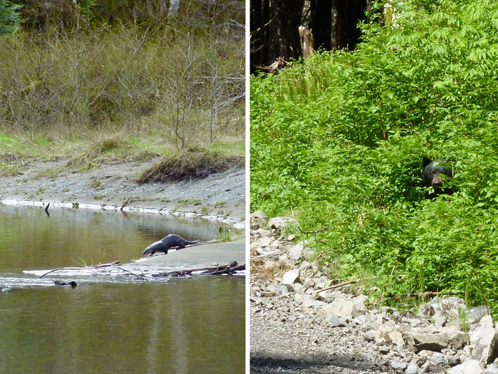 Wild company: a river otter along the Salmon River near Sayward & a curious bear up near Coal Harbor, north Vancouver Island