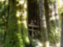 Giant old growth trees at Carmanah Walbran, on backroads camping trip, SW Vancouver Island