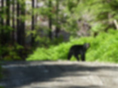 Roadside bear, near Coal Harbour, backroad bikepacking, north Vancouver Island