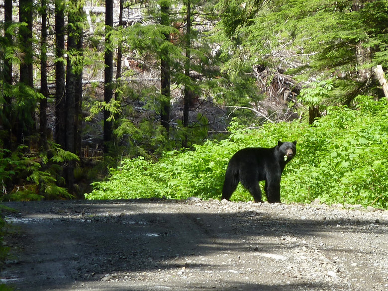 Roadside bear, near Coal Harbour, backroad bikepacking, north Vancouver Island